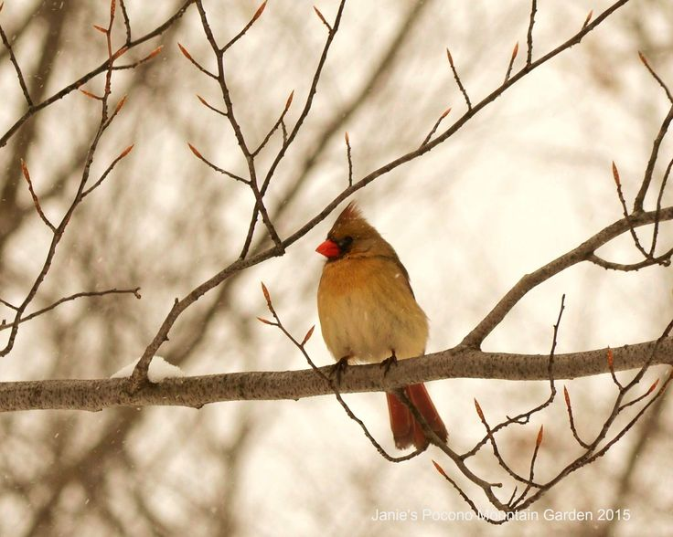 photo of a female cardinal on a winter day.
