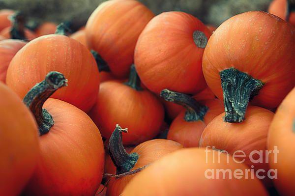 pumpkin,pumpkins,plant,squash,orange,winter squash.green,farm,nature,stem,vegetable,vegetables,halloween,thanksgiving,country,rustic,urban,pumpkin patch,pumpkin harvest,harvest,fall,autumn.mini pumpkins