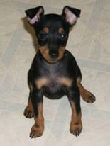 Toy Manchester Terrier Puppy. . . It's Daisy! I miss her :(