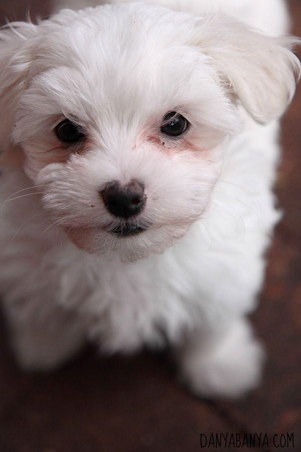 A little 9 week old Maltese Poodle puppy called Snowflake. So cute! ~ Danya Banya