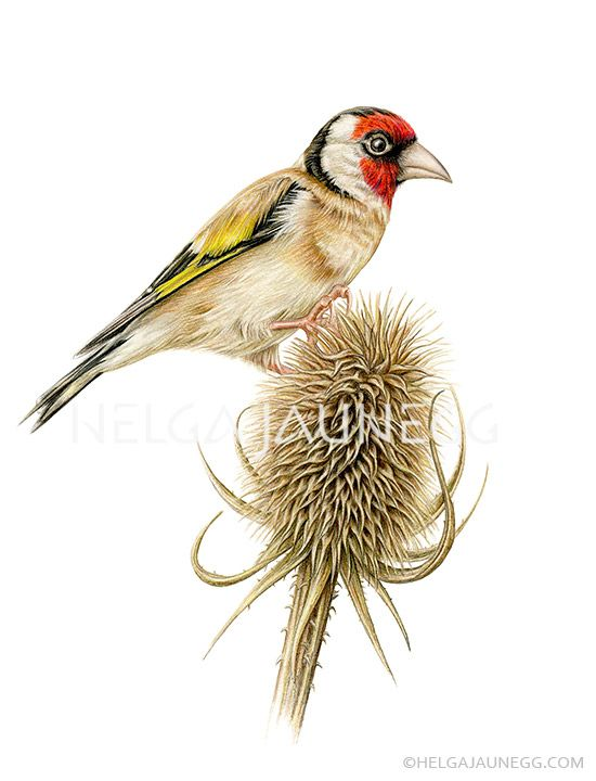 European Goldfinch - Coloured pencil drawing by Austrian Illustrator and Artist Helga Jaunegg. http://www.helgajaunegg.com