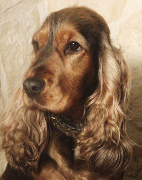 Este es el perro cocker de rodrigo, tiene 12 años.