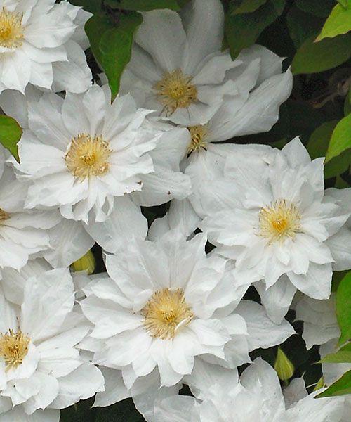 Plamének ´Isago´. Clematis. Velkokvětý a navíc plnokvětý plamének perfektně vynikne díky sněhově bílým květům, které doslova svítí na zeleném pozadí. Plaménky kvetou na loňském dřevě, proto je nezkracujte na jaře, ale až po odkvětu! Stanoviště: slunce - polostín, doba kvetení: květen - červen, výška: do 3 m.