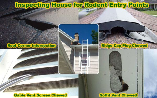 How to Get Rid of Rats in House, Building, Attic - Without Poison