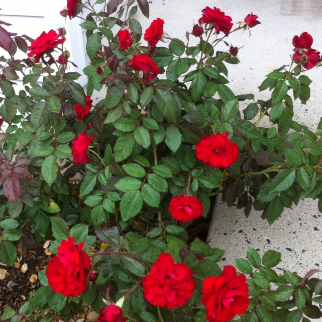 My Rose Bush Called Europeana Flowers And Gardens