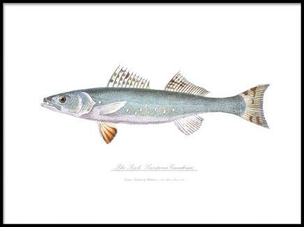 Pike perch, poster. Tavla med fisk. Affisch med gammal handritad illustration av en fisk. Tryckt på obestruket matt papper av hög kvalitet.