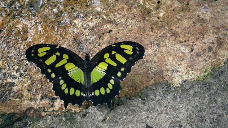 Malachite Butterfly: A Malachite Butterfly draws its name from the vivid green patterning along its wings, particularly striking against a muted background of a concrete walkway.