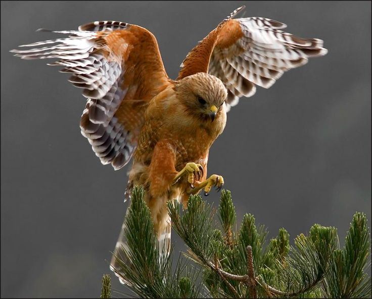 Red Shouldered Hawk. By Cary Maures