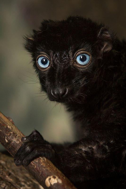 Lemur negro de ojos azules