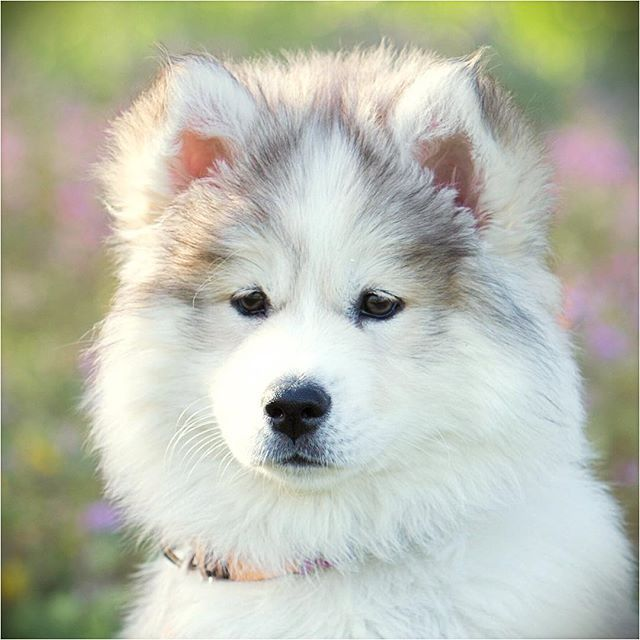 Mocha Bear Always Looks So Thoughtful Huskies On Instagram Cute