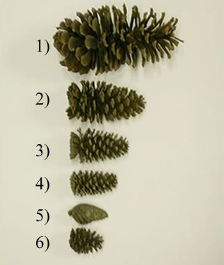 48 best images about pine cone crafts on pinterest for Long pine cones