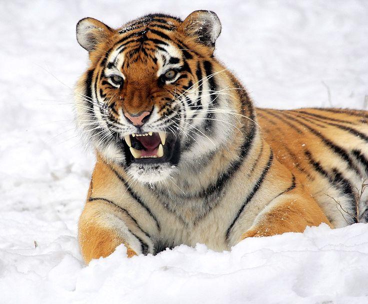 Tiger, Schnee, Knurren, Zoo, Große Katze, Katzen