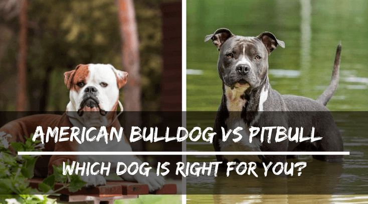 55 American Bully Puppy Vs Pitbull Puppy In 2020 American Bulldog