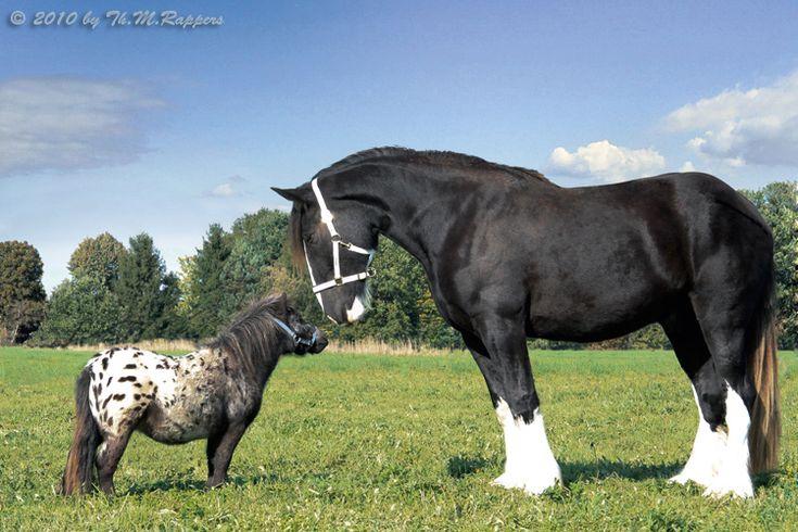 http://www.shire-horse-gestuet.de/Forum/Shire-vs-Falabella-0059-3.jpg