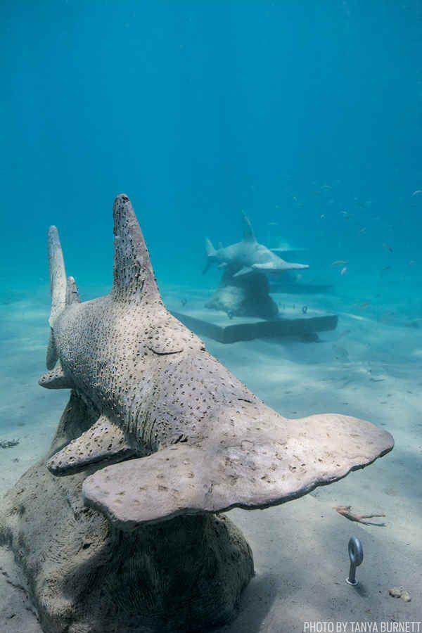 Hammerhead Sharks In Florida Watersblue Heron Bridge Riviera Beach Scuba Diving Magazine