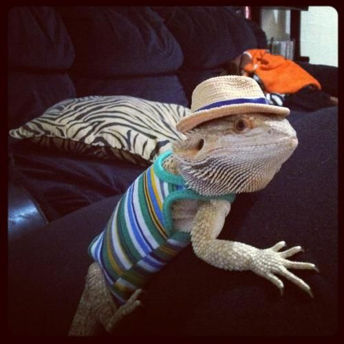 2spooki4u:  alkoerner:  My girlfriend's bearded dragon. We decided that Ken clothes would suit him well  I'm just a nice dragon who gets friendzoned all the time. female pogona vitticeps are all such bitches you should message me if: you like mlp and want to date a nice guy who will treat u right