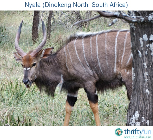 Our staff went on a team building experience at Camp Discovery in Dinokeng North. To end the day, we went for a game drive. We saw several beautiful and unique animals, but the pick of the day was this nyala.