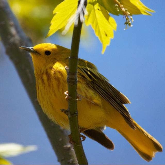 Yellow Warbler - Presqu'ile Provincial Park, Brighton Ontario.