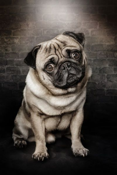 Excellent shot of a pug by Werner Dreblow