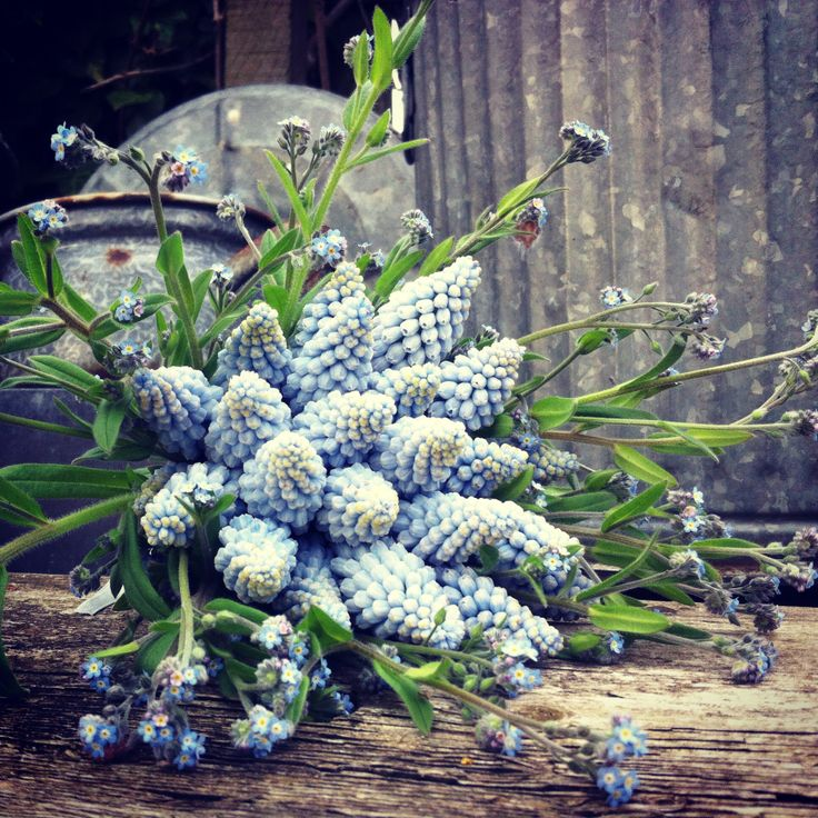 muscari and forget-me nots