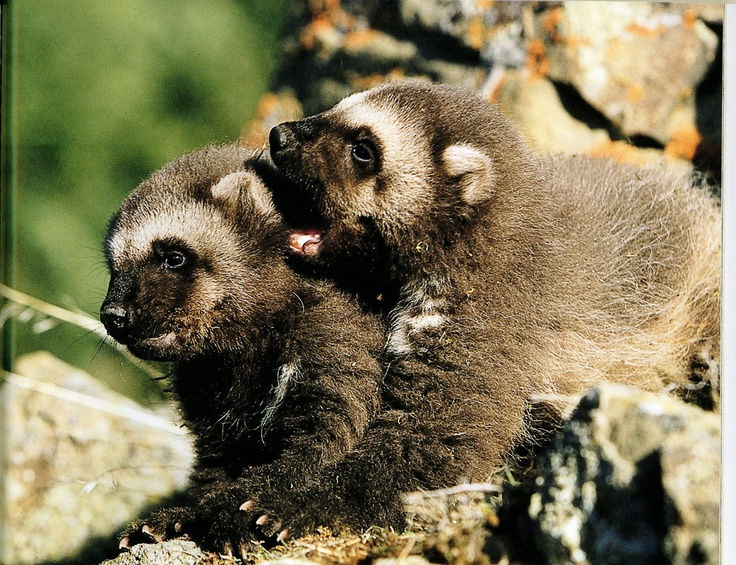 baby wolverines, how cute