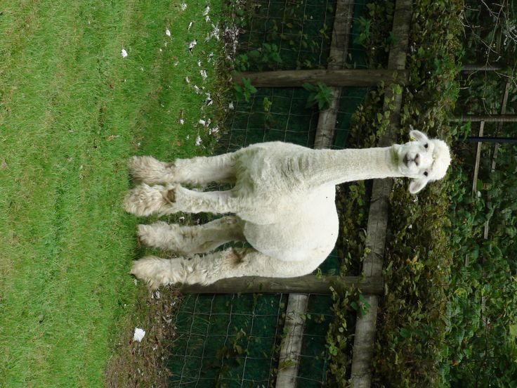 Alpaccas 9 He has a sore knee
