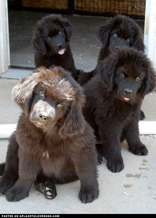 Newfoundland Puppies.....so cute!