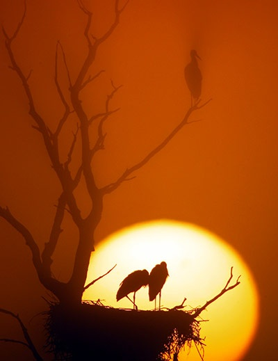 Chereshlya, Belarus: Storks stand on their nest as the sun rises