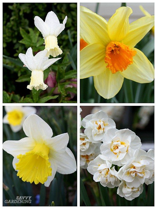 Deer Resistant Bulbs For Spring Color In The Garden