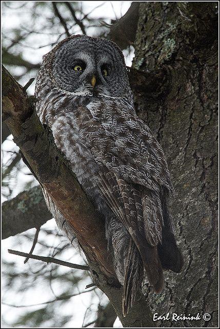 Great Gray Owl (20131026-0775) | Owl, Great grey owl ...