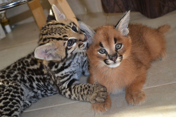 caracal and?? kittens - Google Search