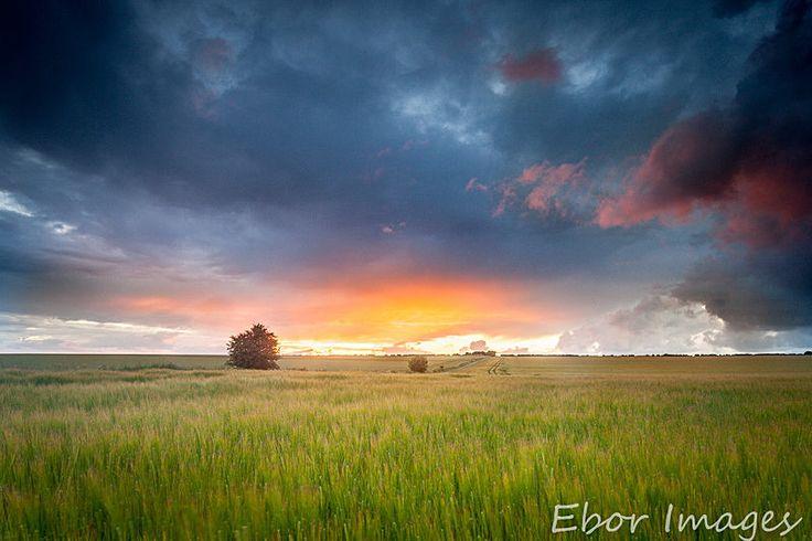 Barley Field - North York Moors & Coast