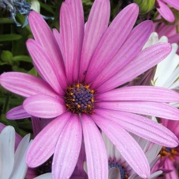osteospermum fot. Sophia Nel Pixabay