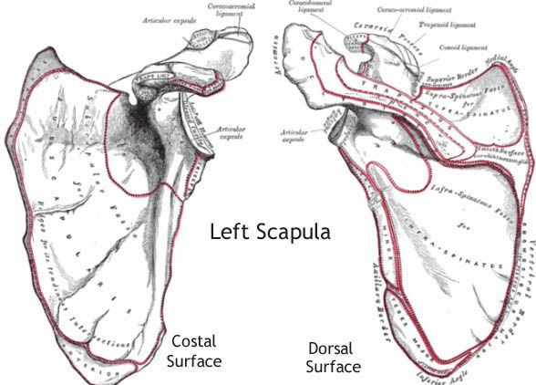 The human body contains two scapula bones, one per shoulder. This bone's main functions include protection of the thoracic cage and providing a connection between the humerus and the clavicle. http://www.learnbones.com/shoulder-bones-anatomy/