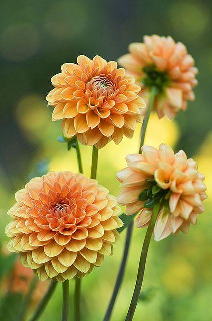 prettylittleflower:  Un grupo de Dalias by C.Aranega on Flickr.
