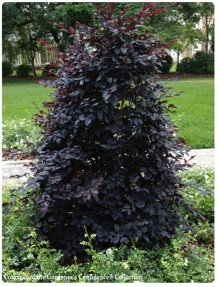 20 best images about dark foliage plants on pinterest for Garden shrubs