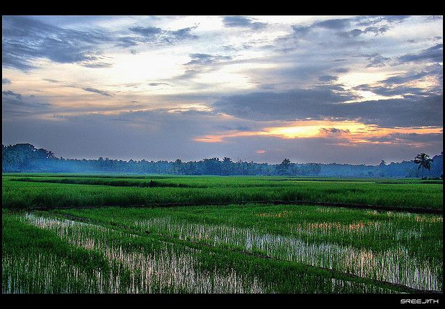 Paddy Fields at Dusk, Kerala