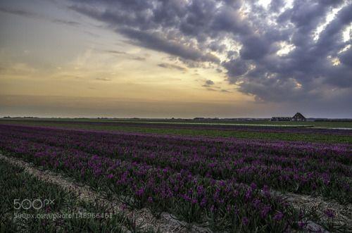 Sunset Julianadorp by klaasfidom Nature Landscape Flowers Sunset Clouds Beautiful Holland Farm Colourful Dutch Hyacint North holland