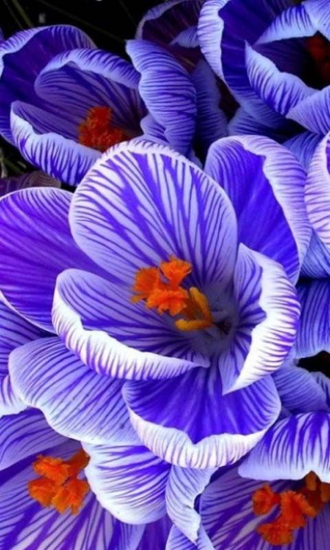Pickwick Large Flowering Dutch Crocus  http://www.dejager.co.uk/product/?pid=25522