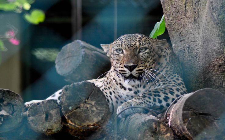 Sri Lankan - Leopard