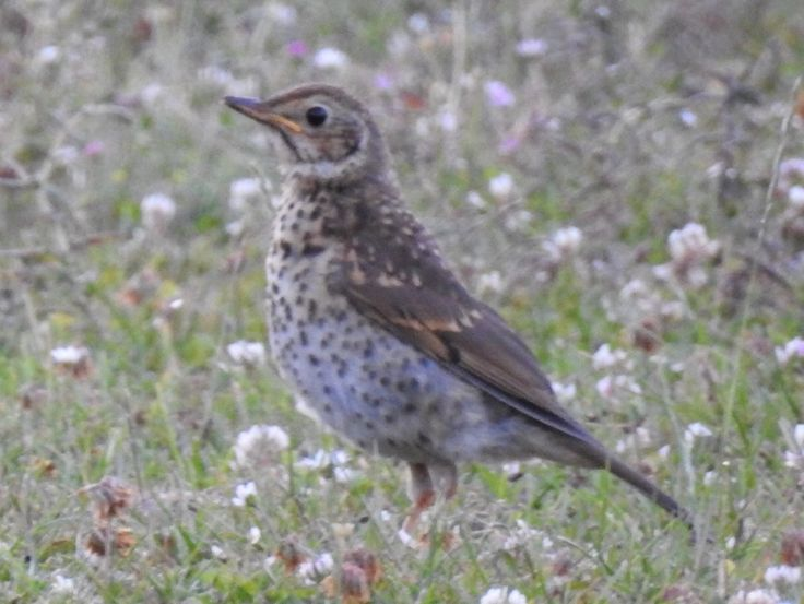 Mistle Thrush in the field.