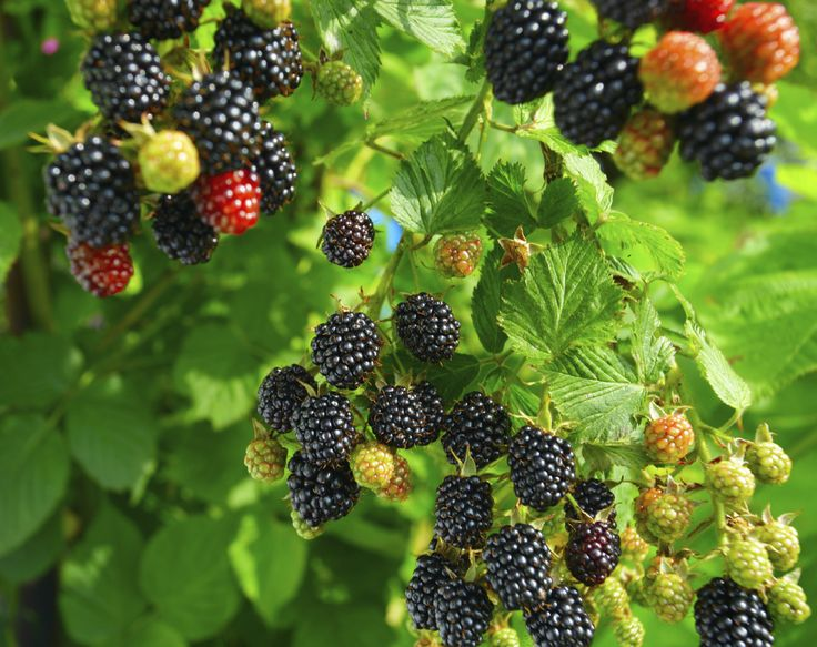 If you are wondering about how to grow blackberries, you need to read this article. Learn what these plants need and where to grow them and soon you'll be enjoying your own sweet berries.