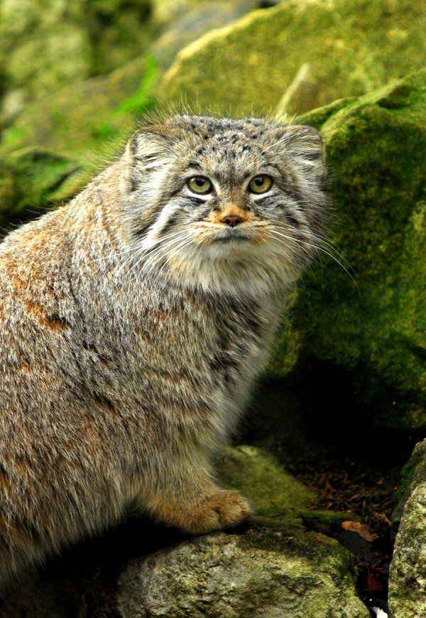 Pallas's cat (Otocolobus manul), also called the manul, Pallas cat, Asian cat, is a small wild cat having a broad but patchy distribution in the grasslands and montane steppe of Central Asia. The species is negatively affected by habitat degradation, prey base decline, and hunting, and has therefore been classified as Near Threatened by IUCN since 2002