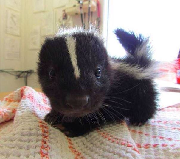 Baby skunk! Funny I came across this because last night I dreamed I got sprayed by an adult