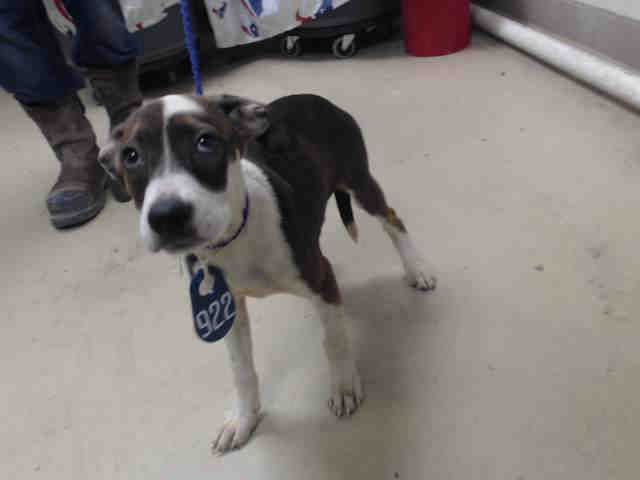 NO LONGER LISTED LADY - ID#A468466 - URGENT - Harris County Animal Shelter in Houston, Texas - ADOPT OR FOSTER - I have a possible adopter - 13 WEEK OLD Spayed Female Beagle mix - at the shelter since Sep 17, 2016.