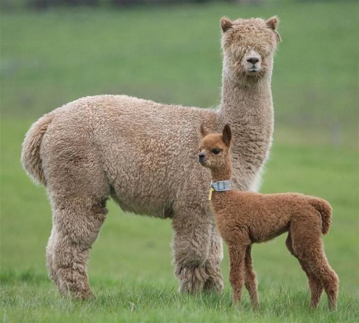 Adorable baby Alpaca with mother