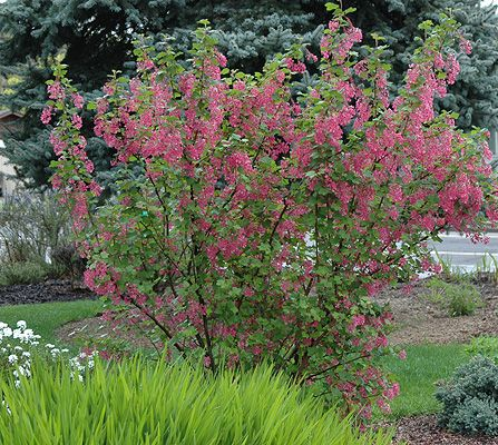 Red Flowering Currant is an upright shrub that reaches heights of 10 feet. Beautiful pink to deep red cluster of flowers that either hang or stand erect in spring