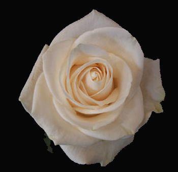 17 best champagnechocolate flower images on pinterest flower beds vendela rose flower mightylinksfo