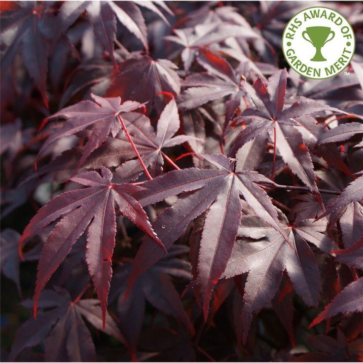 Acer Palmatum Bloodgood Tree
