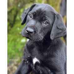 On weekends we revisit featured Labradors and checking in with Gunner / @thepupgunner. With these eyes he can surely get anything he wants. We hope this finds you having a lovely day. #whatabeauty Interested in a feature? Follow @labradoroftheday and tag pictures with #labradoroftheday and you may be selected as either Labrador of the Day or for a newsworthy feature :) #labrador #revisit #lotdrevisit #lotdvisitsgunner by labradoroftheday